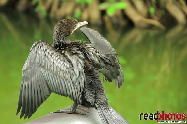 Sun-basking  Cormorant, Sri Lanka - Read Photos