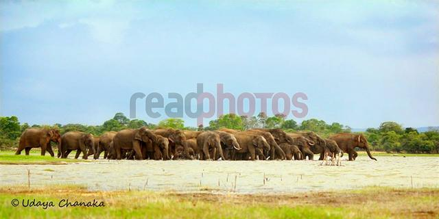 Herd of elephants in Sri Lanka - Read Photos