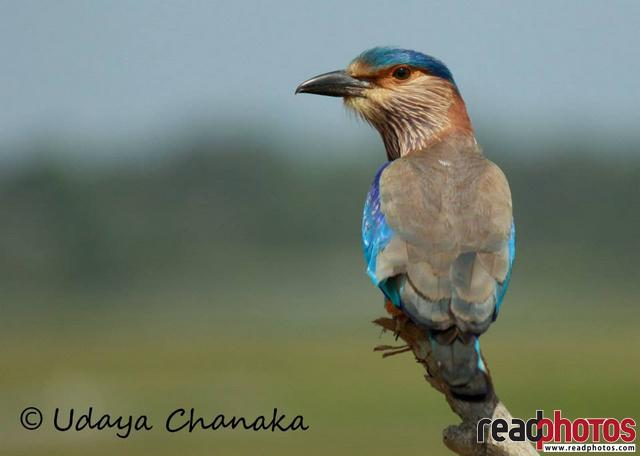 Rollers bird, Sri Lanka - Read Photos
