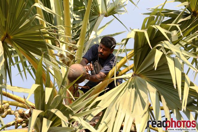 Toddy collector, Sri Lanka  - Read Photos