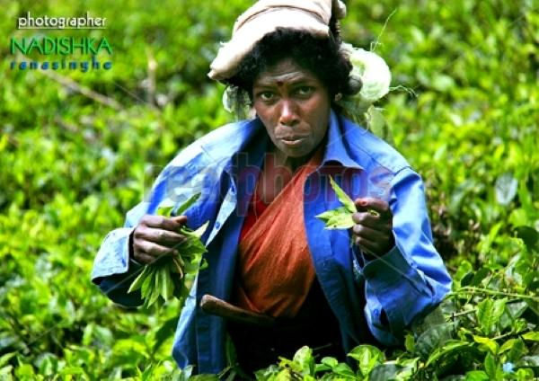 Tea plucking women, Sri Lanka
