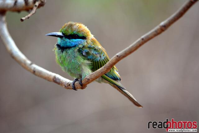 Bee-eaters, Sri Lanka - Read Photos