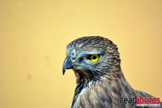 Eagle eye, Sri Lanka  - Read Photos