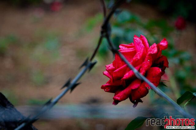 Rose behind barbed wire, Sri Lanka - Read Photos