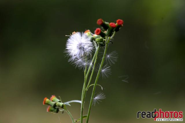 Windy Dandelion, Sri Lanka - Read Photos