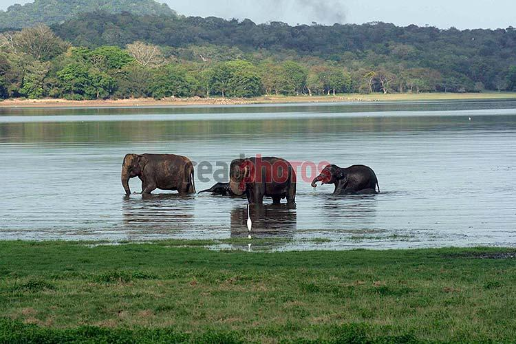 Wild Elephants Sri Lanka  - Read Photos
