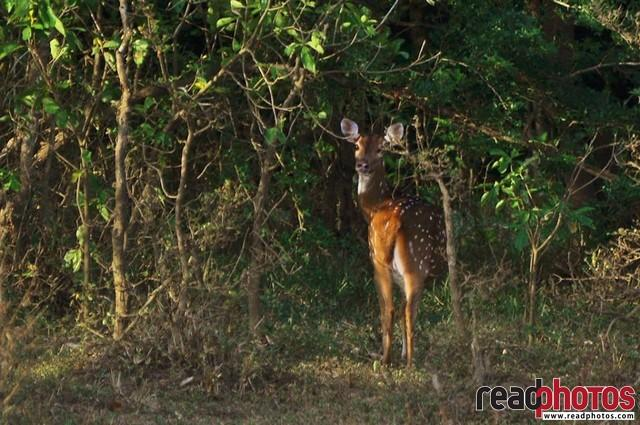 Lonely deer, Sri Lanka - Read Photos