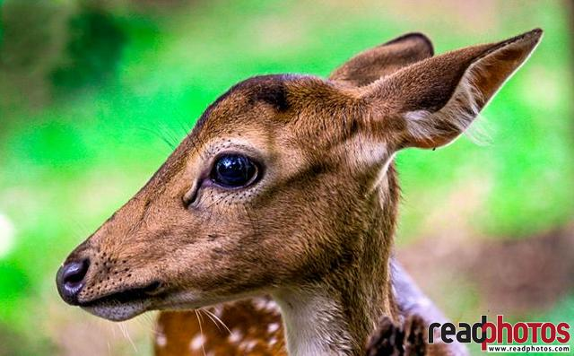 Baby deer, Sri Lanka - Read Photos