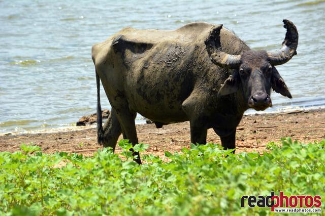 Wild Buffalo, Sri Lanka
