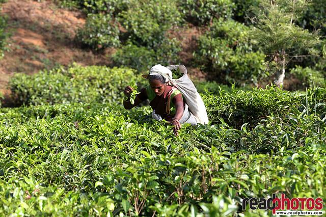 Tea, plucking lady, Nuwara Eliya, Sri Lanka (1)