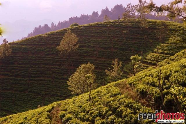 Tea state, morning, Sri Lanka - Read Photos